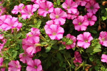 Pretty Growing Pink Petunias in Summer