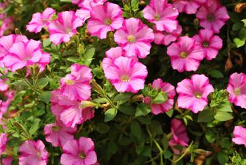 Pretty Growing Pink Petunias in Summer