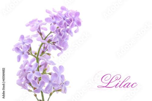 Deurstickers Lilac Lilac