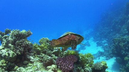 Turtle Swimming over Coral Reef, Red sea
