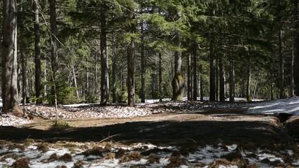 雪解け後のドイツトウヒの森