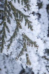 Frosted Pine Tree Limbs