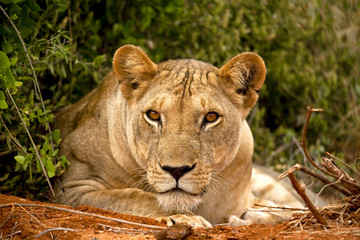 Lioness staring at viewer