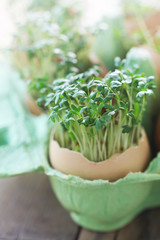 Garden Cress Growing in Egg Shells