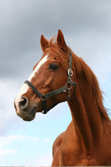 Beautiful brown thoroughbred horse head at farm