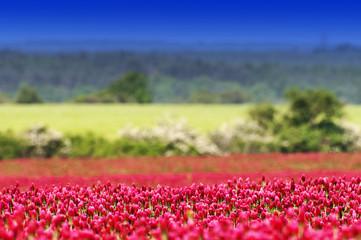 Crimson clover (Trifolium incarnatum) field