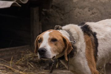 Old Hunting dog near his kennel