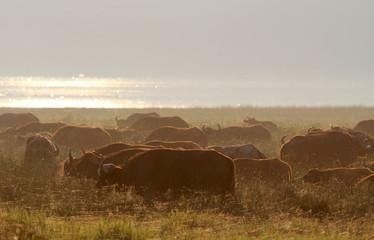 Wasserbüffel-Herde im Morgenlicht, Lake Nakuru, Kenia
