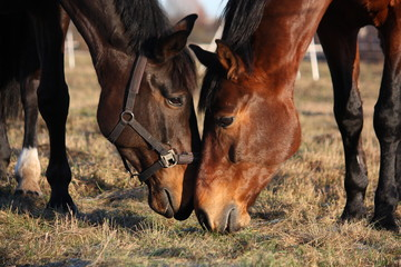 Two horses eating grass at the pasture