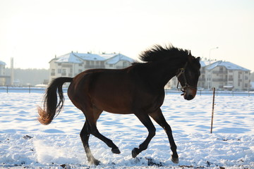 Silhoette of horse galloping free