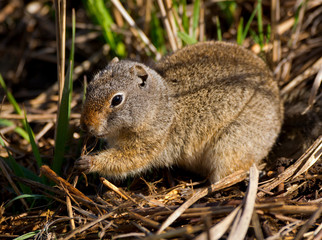 Uinta Ground Squirrel with muddy paws eating roots