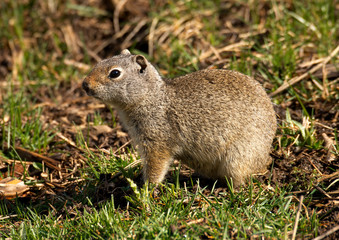Uinta Ground Squirrel portrait