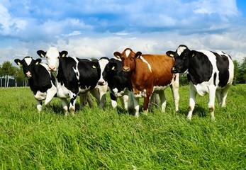 Junge Rinderherde auf der Sommerweide