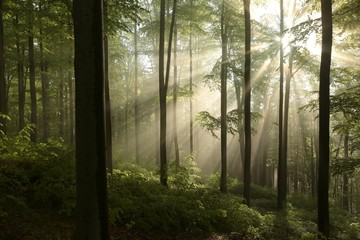 Sunrise in the spring beech forest after rainfall
