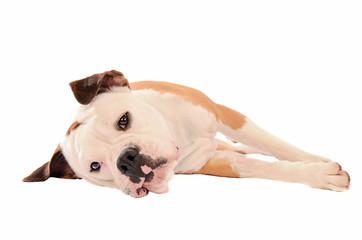 Old English Bulldog lying on a white background