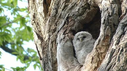 巣立つ前のフクロウの赤ちゃん_11