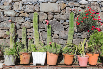 Blooming cactuses in flower pots before a stone wall