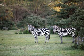 Two Zebras near Naivasha lake