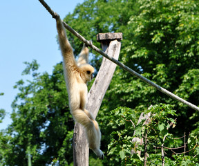 gibbon monkey on a rope