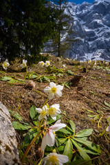 White christmas rose in mountains.