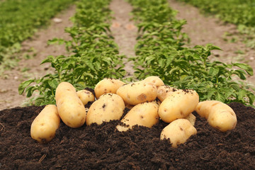 potatoes on a background of field