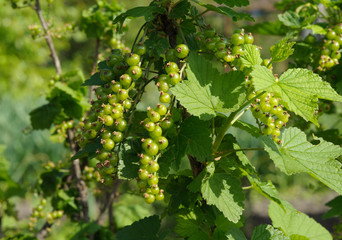 bush of red currant