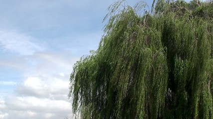 Lone weeping willow (Salix babylonica).