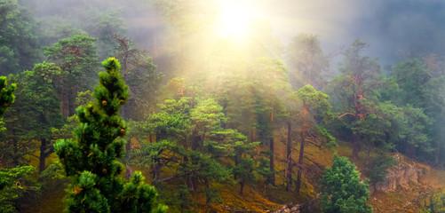 Осень в сосновом лесу