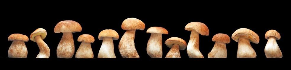 Mushroom family, Cep (Boletus edulis) - king of pore fungi