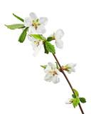 Sakura flowers isolated on white background. - 65084854