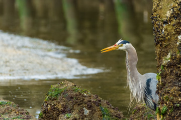 Great Blue Heron Hunting in Eelbed