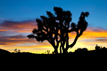 Joshua Tree Silhouette in Sunset