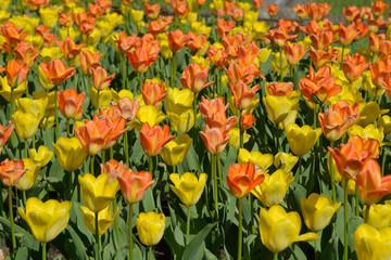 Yellow and orange tulips.