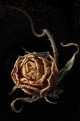 枯れた薔薇