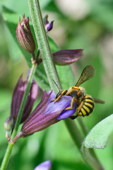 Bee and Flower of Sage