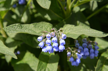 Flowers of a comfrey Caucasian (Symphytum caucasicum M. Bieb. )