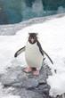 Rockhopper penguin standing on snow