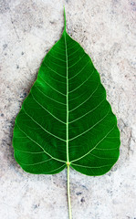dark green Bodhi or Sacred fig leaf