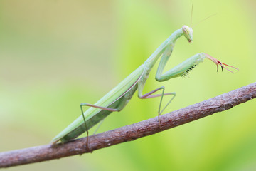Praying Mantis on Tree branch