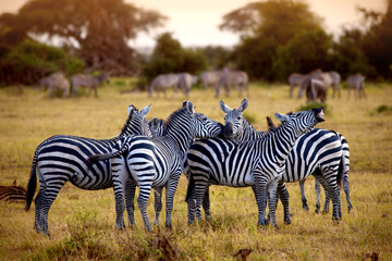 zebra's in africa walking on the savannah