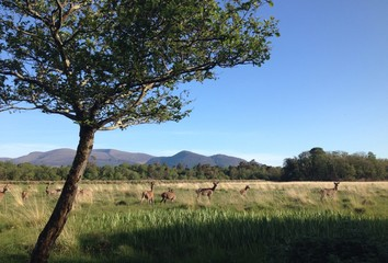tree and deer in killarney, ireland