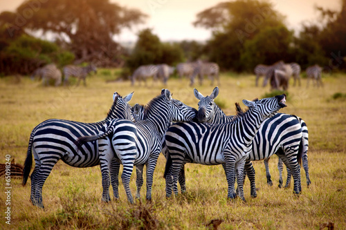 Foto op Canvas Zebra zebra's in africa walking on the savannah