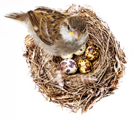 sparrow bird and a nest