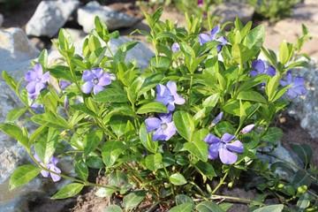 Flowers periwinkle