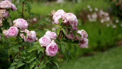Roses plant in spring  garden