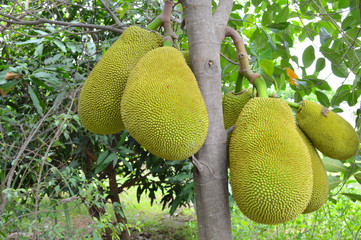 jack fruits on tree