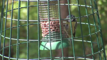 Blue tit feeding on a nut bag.