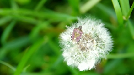 Flowering dandelion and beetle on a green field on the wind.