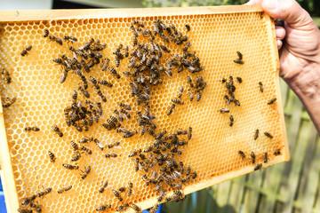 Imker zeigt Brutwaben mit Bienen darauf