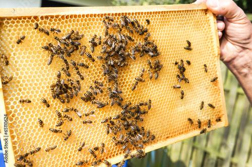 Keuken foto achterwand Bee Imker zeigt Brutwaben mit Bienen darauf